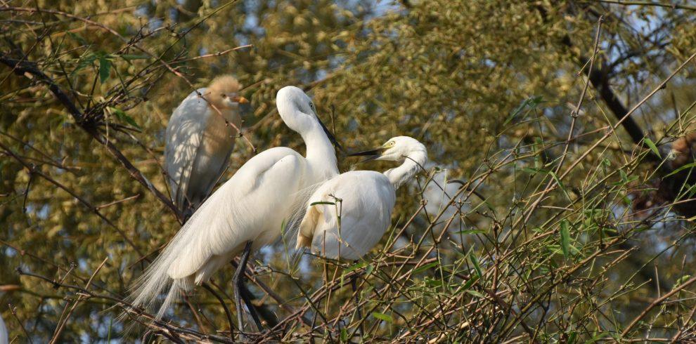 Couple Egret